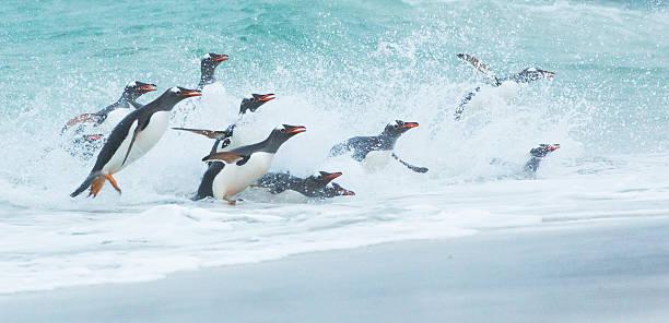 Gentoo Penguins Returning to Shore with a Big Splash:スマホ壁紙(壁紙.com)