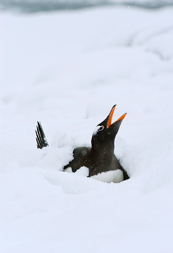 Snowdrift「Gentoo Penguin (Pygoscelis papua) nesting in snow」:スマホ壁紙(10)