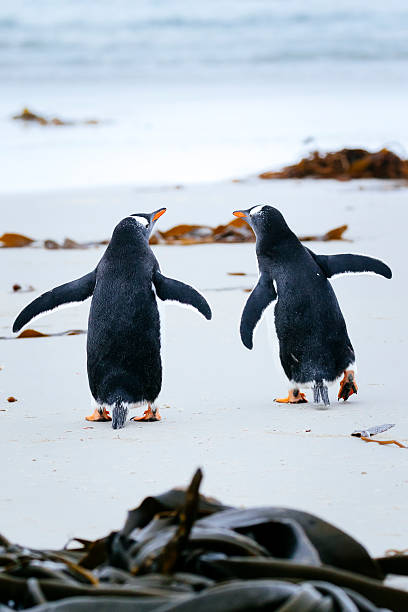 Gentoo Penguins on the beach:スマホ壁紙(壁紙.com)