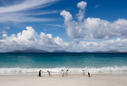 フォークランド諸島「Gentoo Penguin (Pygoscelis papua)」:スマホ壁紙(12)
