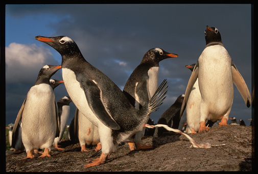 Falkland Islands「Gentoo Penguin Defecating」:スマホ壁紙(3)