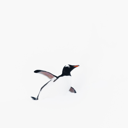 鳥「Gentoo penguin」:スマホ壁紙(10)