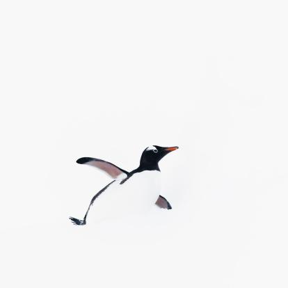 Birds「Gentoo penguin」:スマホ壁紙(8)