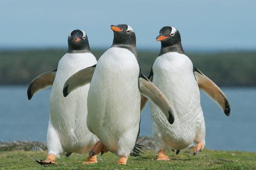 Falkland Islands「Gentoo Penguins Walking, Falkland Islands」:スマホ壁紙(17)