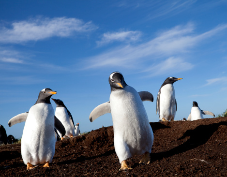 Falkland Islands「Gentoo Penguins, Falkland Islands」:スマホ壁紙(10)