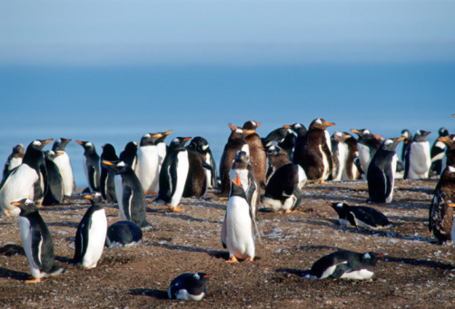 Falkland Islands「Gentoo Penguins, Falkland Islands」:スマホ壁紙(0)