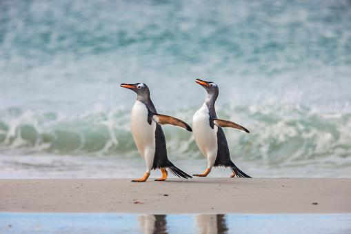 Falkland Islands「2 Gentoo penguins walking」:スマホ壁紙(2)