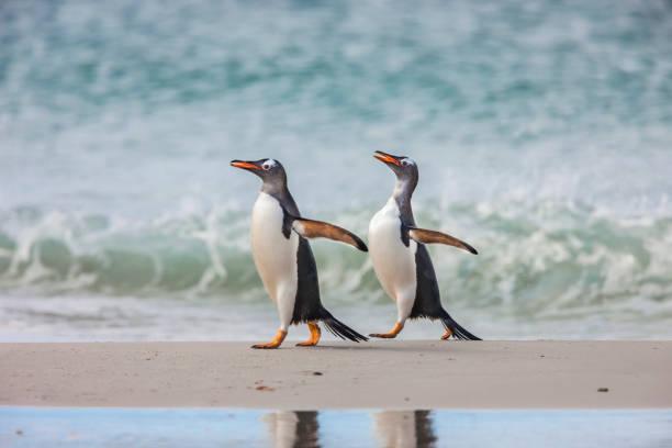 2 Gentoo penguins walking:スマホ壁紙(壁紙.com)