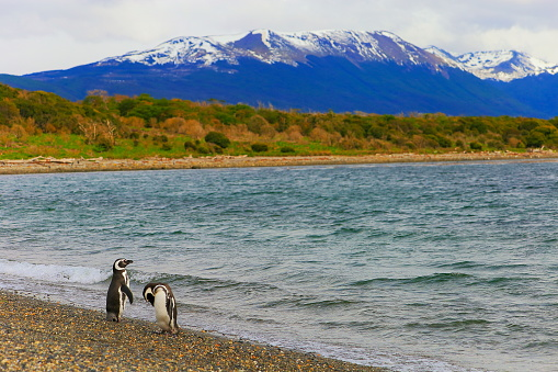 Magellan Penguin「Gentoo Penguin couple along on a secluded beach, Tierra Del fuego, Argentina – South America」:スマホ壁紙(12)