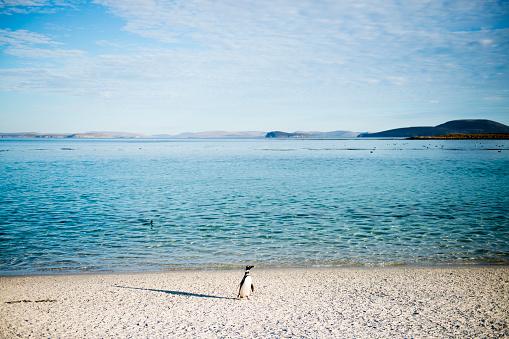 Falkland Islands「Gentoo penguin on beach」:スマホ壁紙(12)