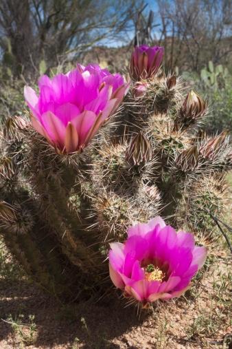 Hedgehog「hedgehog cactus (echinocereus engelmannii) blossoms」:スマホ壁紙(0)