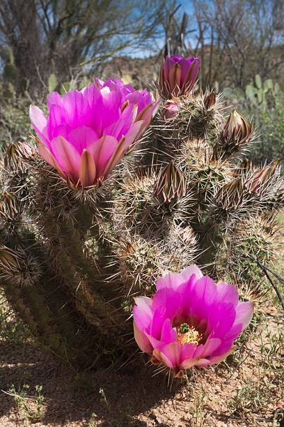 Hedgehog cactus (echinocereus engelmannii) blossoms, arizona, united states of america:スマホ壁紙(壁紙.com)
