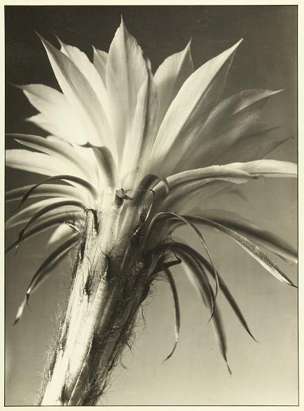 ハリネズミ「Ball Cactus Flower」:写真・画像(8)[壁紙.com]