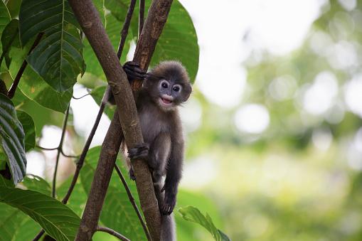 Ecosystem「A young Dusky Langur monkey on a tree in Langkawi」:スマホ壁紙(14)