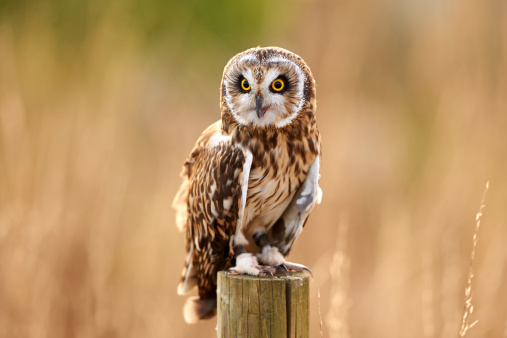 Wooden Post「A Short-Eared Owl (Asio flammeus)」:スマホ壁紙(10)