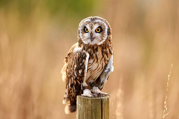 A Short-Eared Owl (Asio flammeus):スマホ壁紙(壁紙.com)