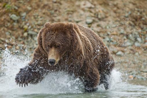 Salmon River  Alaska「Fishing Brown Bear, Katmai National Park, Alaska」:スマホ壁紙(3)