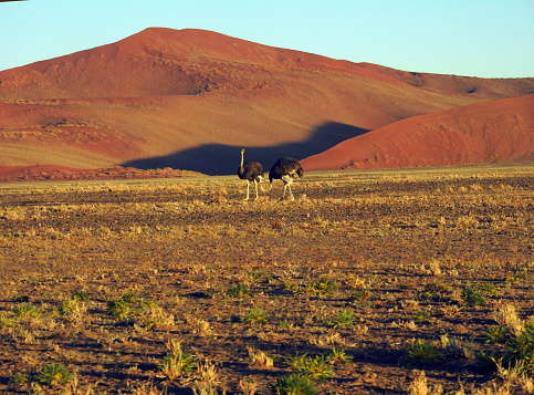 Namibian Desert「Ostriches in the dune area」:スマホ壁紙(10)