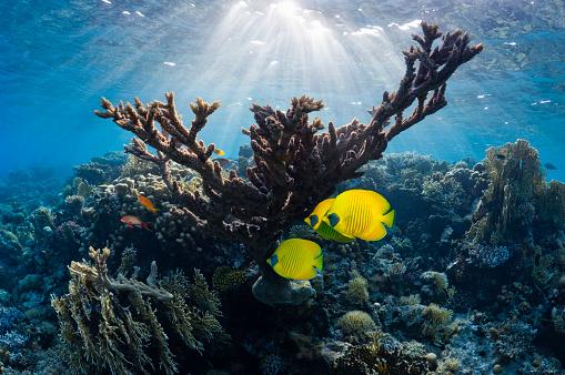 熱帯魚「Golden butterflyfish on coral reef.」:スマホ壁紙(7)