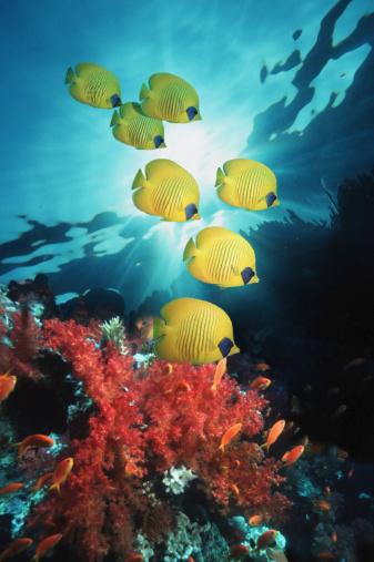 Masked Butterflyfish「Golden Butterflyfish (Chaetodon semilarvatus) over reef」:スマホ壁紙(18)