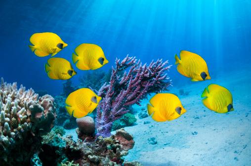 Masked Butterflyfish「Golden butterflyfish」:スマホ壁紙(15)
