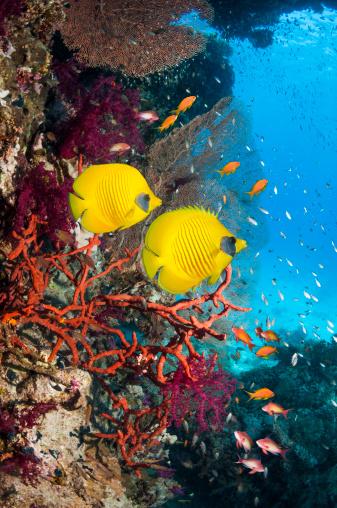 熱帯魚「Golden butterflyfish」:スマホ壁紙(19)