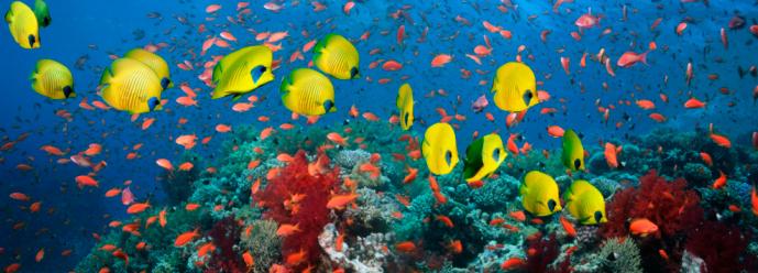 Masked Butterflyfish「Golden butterfly fish (Chaetodon semilarvatus) and Goldies or Lyretail anthias (Pseudanthias squamipinnis) with coral reef」:スマホ壁紙(9)