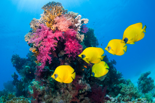 Soft Coral「Golden butterflyfish over coral reef」:スマホ壁紙(1)