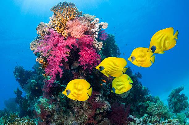 Golden butterflyfish over coral reef:スマホ壁紙(壁紙.com)