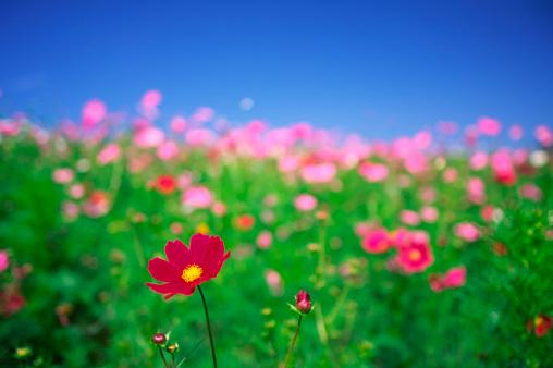 コスモス「花のガーデン」:スマホ壁紙(19)