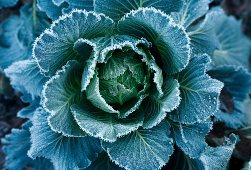 Fertilizer「Frost on leaves of lettuce」:スマホ壁紙(19)