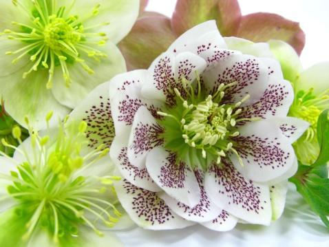 Hellebore「Hellebore blossoms」:スマホ壁紙(5)
