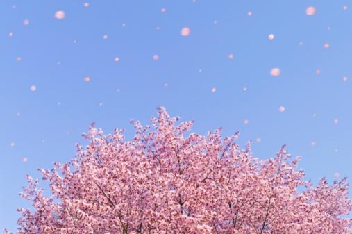 Cherry Blossom「Falling cherry blossom petals, Sapporo, Hokkaido, Japan」:スマホ壁紙(5)