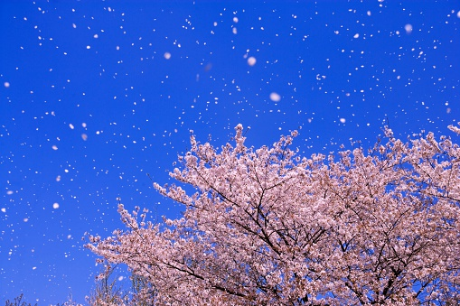 桜「Falling Cherry Blossoms, Shikishima Park, Gunma Prefecture, Japan.」:スマホ壁紙(10)