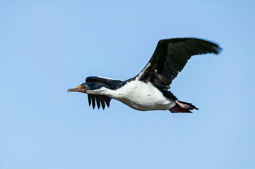 Falkland Islands「Imperial Shag or King Cormorant (Leucocarbo atriceps albiventer)」:スマホ壁紙(0)
