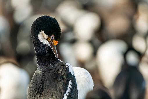 Falkland Islands「Imperial Shag or King Cormorant (Leucocarbo atriceps albiventer)」:スマホ壁紙(6)