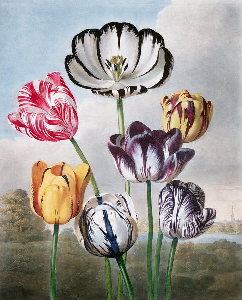 Botany「Engraving by Richard Earlom After Tulips by Philip Reinagle」:写真・画像(13)[壁紙.com]