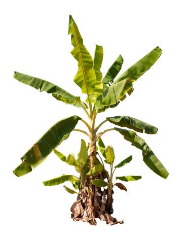 Tropical Tree「Banana tree with clipping path.」:スマホ壁紙(6)