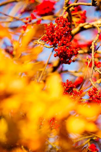Rowanberry「Rowan berries glowing at sunset, Ambleside, UK.」:スマホ壁紙(15)