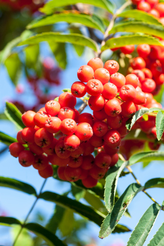 Rowanberry「Rowan berries」:スマホ壁紙(7)