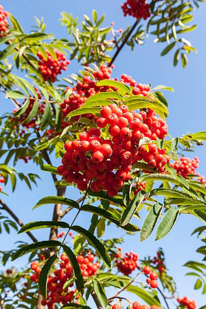Rowan berries:スマホ壁紙(壁紙.com)