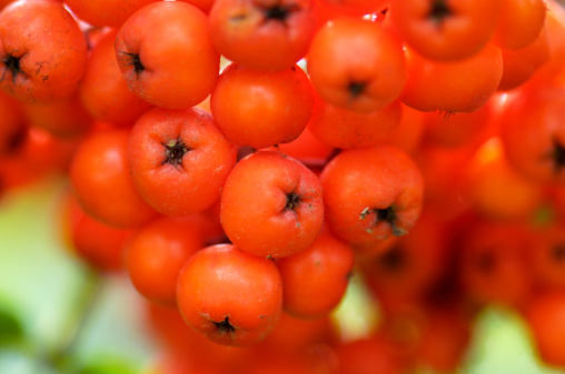 Rowanberry「Rowan berries, Sorbus aucuparia, close-up」:スマホ壁紙(6)