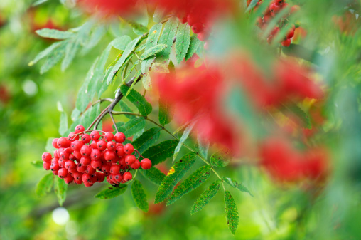 Rowanberry「Rowan berries, Sorbus aucuparia, close-up」:スマホ壁紙(8)