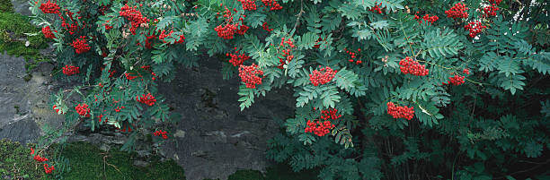 Rowan berries (Sorbus aucuparia) hanging over wall:スマホ壁紙(壁紙.com)
