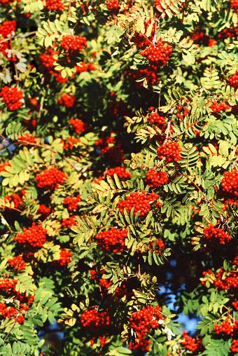 Rowanberry「Rowan Berries On Rowan Tree」:スマホ壁紙(17)