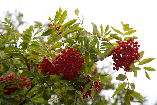 Rowanberry「Rowan berries」:スマホ壁紙(13)