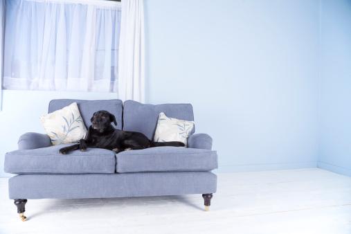 Rodent「Black dog, blue sofa」:スマホ壁紙(12)