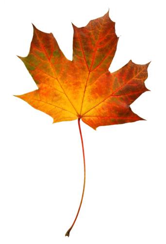 かえでの葉「Brightly coloured autumnal Norwegian maple leaf.」:スマホ壁紙(2)
