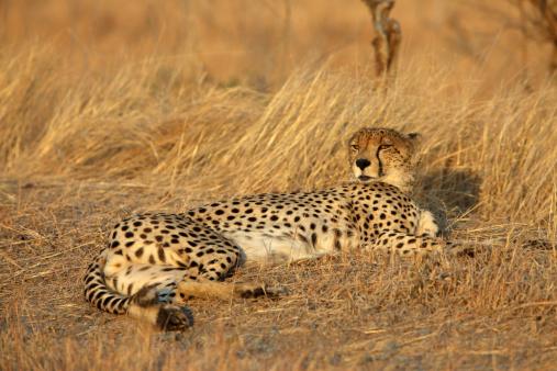 African Cheetah「Cheetah Lying In Grass At Sunset」:スマホ壁紙(3)