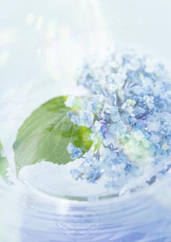 花「Hydrangea」:スマホ壁紙(1)